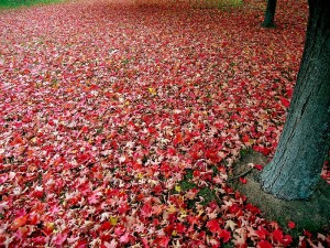 800px-Red_autumn_leaves