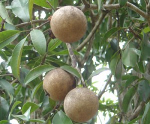 Sapodilla, yet another tree-food in Key West